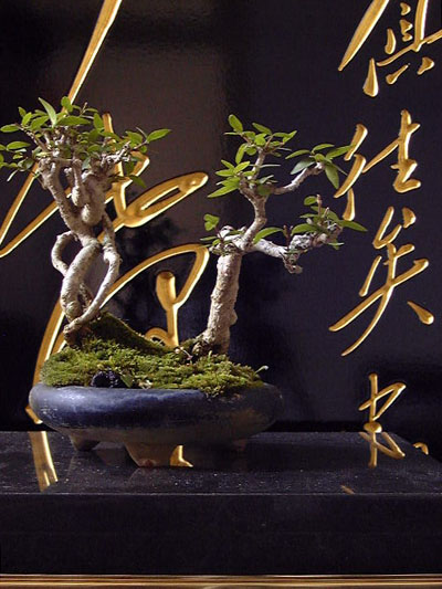 mao-bonsai.jpg (70222 bytes)